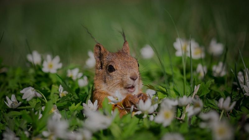 Urban nature photography tips: A squirrel looks up, paws in front of its body, surrounded by a field of white daisies and lush green grass up to its shoulders.